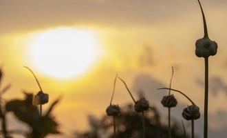 Espigas de flores de ajo contra el fondo del atardecer foto