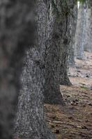 Row of tall coniferous trees with selective focus photo