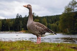 Graylag goose con pico naranja en el parque con el cielo y el lago foto