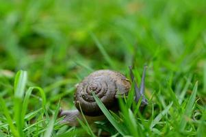 caracol caminando sobre la hierba foto