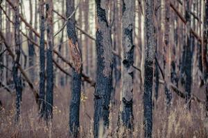 Pripyat, Chernobyl, Ukraine, Nov 22, 2020 - Mysterious trees in Chernobyl photo