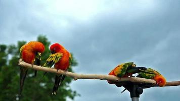 Sun Conure Parrot on Wooden Beam video