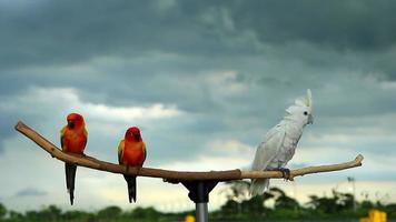 Sun Conure Parrot and Cockatoo on Wooden Beam video