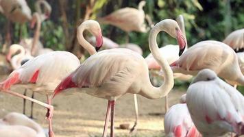 flamingo avkopplande i dammen video