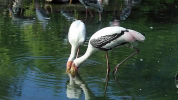 målad stork hitta mat i dammen video