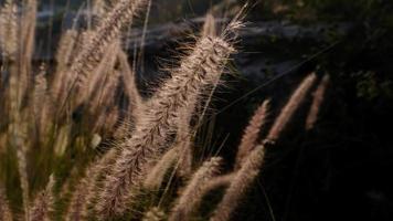 närbild torrt ogräs på äng. kameran zoomar ut. video