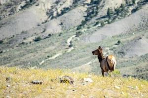 Elk in the mountains of Yellowstone photo