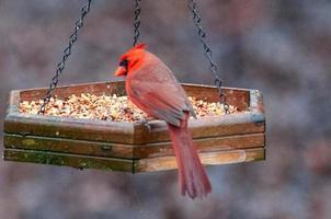 Cardenal alimentándose en el comedero para pájaros en Carolina foto