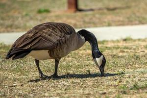 Canadian gray goose grazing in the wild photo