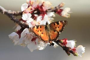 orange butterfly on apricot blossoms photo