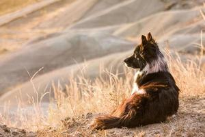 viejo perro de ganado en la pradera foto