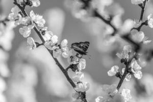 butterfly on branch with apricot blossoms in black and white photo