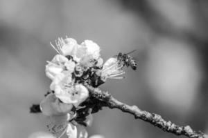 honeybee on apricot blossom in Spring photo