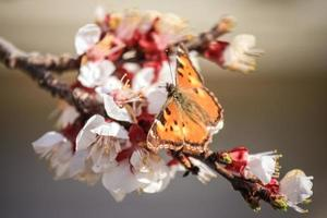 butterfly on branch of apricot blossoms photo