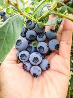 fresh picked blueberries photo