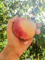 fresh picked peach photo