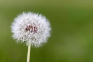 Single Dandelion close up photo