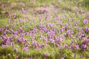 grassy field with purple flowers photo