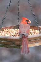 Cardinal feeding at bird feeder in Carolina photo