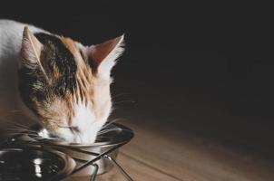 gato tricolor hambriento come comida seca foto