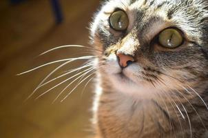 gato doméstico de cerca. foto