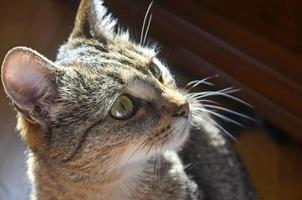 gato doméstico de cerca foto