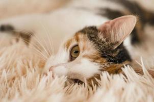 Tricolor domestic cat photo