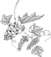Grape fruit hand drawn illustration. vector