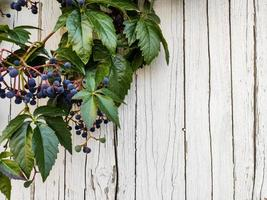 uvas decorativas que crecen en la calle foto