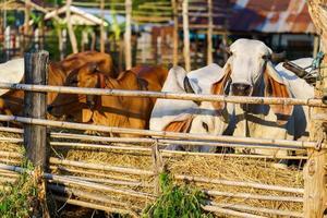 vacas en la granja al aire libre. foto
