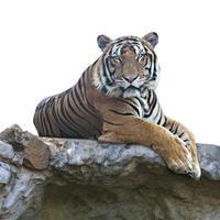 tigre sobre fondo blanco foto
