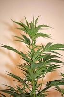 Cannabis plant first leaves close up modern prints family cannabaceae photo