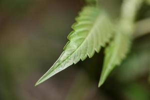 Cannabis leaf close up medical marihuana background top view print photo