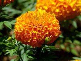 yellow tanacetum flowers in the garden photo