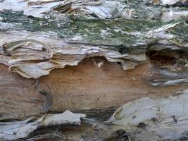 corteza de árbol de eucalipto foto