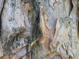 textura de corteza de árbol de eucalipto foto