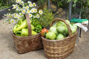 tomates en cestas de mimbre. cosecha de tomate en invernadero. foto