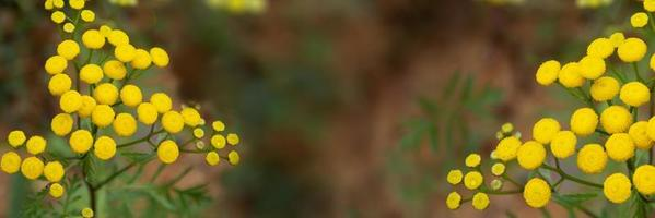 Floral background. Banner horizontal with wildflowers yellow flowers photo