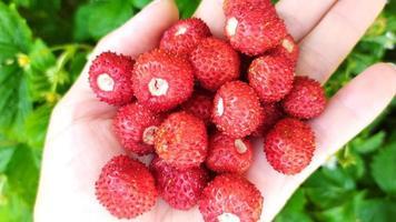 fresas en un primer plano de la palma femenina. fondo de baya de foto