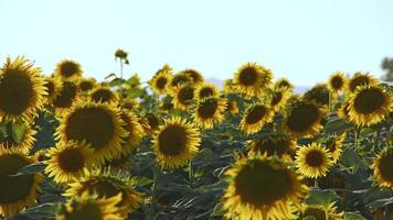 Sunflowers in Green Nature video