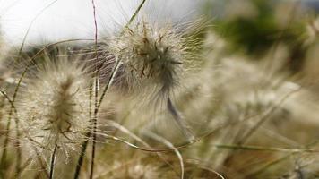 riet in de wind video