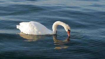 White Swan with A GPS Tracker video