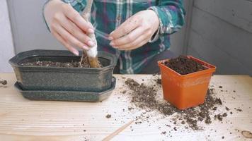 Woman Planting Bonsai Tree in A Pot video