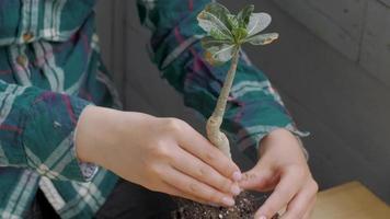 A Woman Planting a Bonsai Tree in A Pot video