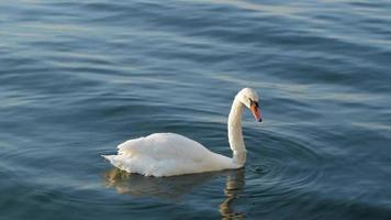 A White Swan with GPS Tracker video