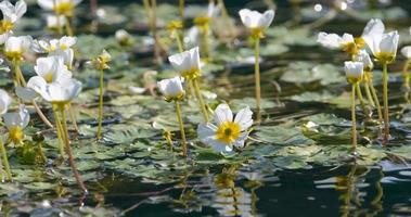 Wild Flowers in The Pond video