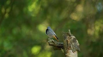 Cerca de hermoso pájaro colirrojo en bosque verde video