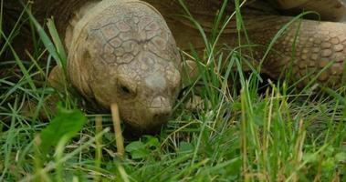 tortuga africana en la hierba verde video