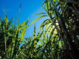 la luz del sol y el cielo azul sobre la finca de caña de azúcar foto
