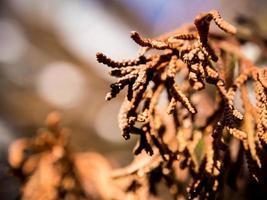 Dry leaves of dead pine tree photo